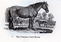 the common cart horse