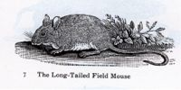 the long tailed field mouse