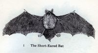 the short eared bat